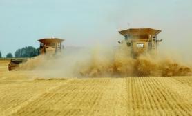 wheat-6