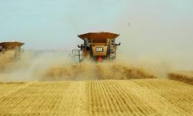 wheat-7